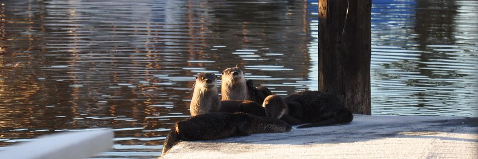 /index.php/40-website-content/front-page-scroller/355-river-otters-on-our-dock
