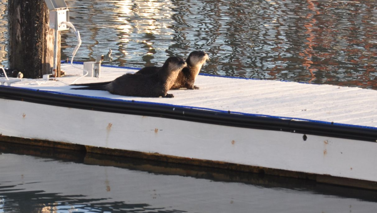 Sea Otters On the San Rafael Canal!